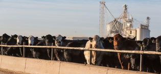 Custom Cattle Feeding